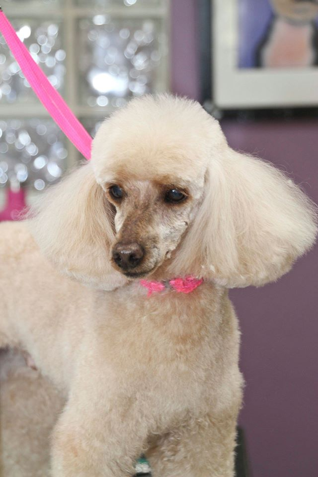 Toby the classic mini-poodle gets a classic cut at Critter Clippers